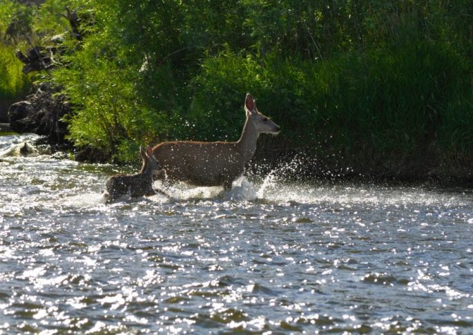 Deer on Jefferson River (photo by Norm Miller)