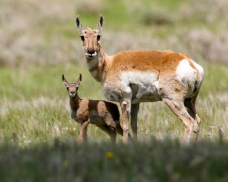 Pronghorn and calf