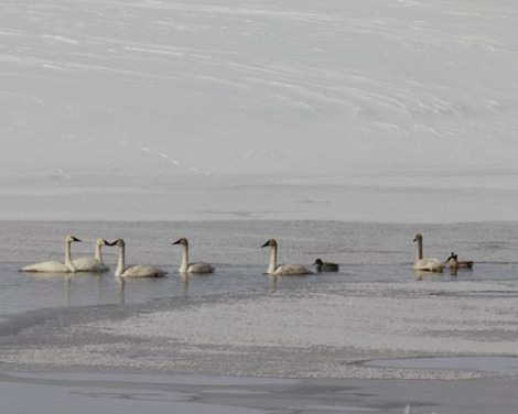 Trumpeter Swans (photo by James N. Perdue)