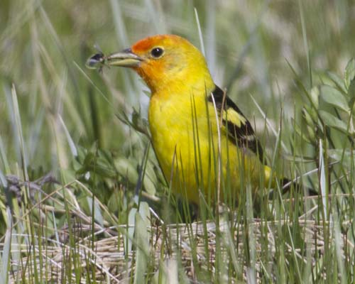 The beautiful Western Tanager (Piranga ludoviciana) has found a bug in the grasses near Red Rock Creek. The tanager is classified in the same family as the cardinal. Western tanagers eat fruits (~18%) and a wide range of insects (~82%) They are a welcome visitor in the spring and early summer here in the refuge, though not especially numerous (like the blackbirds or sparrows, etc).