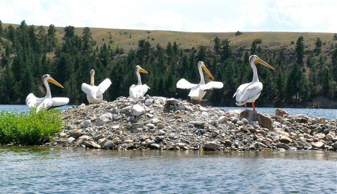 Pelicans Dancing  (Photo by Norm Miller)