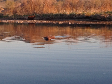 This beaver came to greet me as I pulled into my diversion dam camp Friday night.