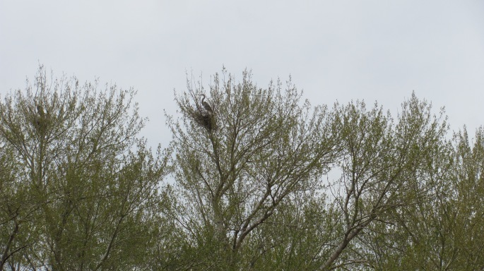 A crane sitting in its nest high above in the trees.