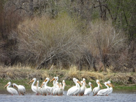 Flock of pelicans sitting in the water.