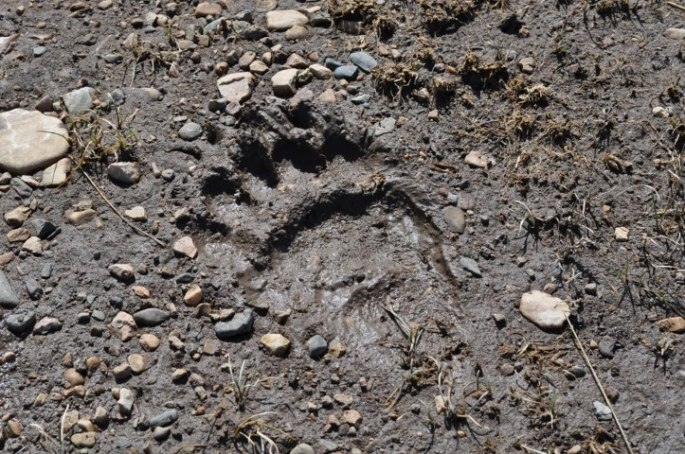 Here is the grizzly track Haley took a photo of at the base of Hell Roaring Canyon, where we came out.