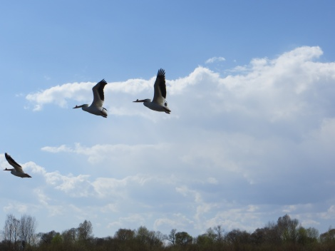 Love my pelicans