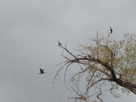 Not sure if these are cormorants or cranes. I think the former.