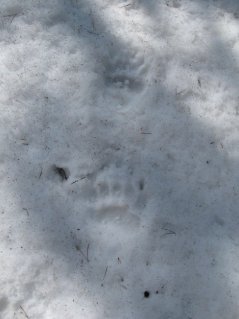 Grizzly Tracks.  We made ourselves known by talking at the bear for the last couple hours of our ski.