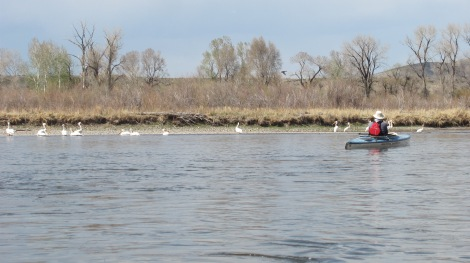 My pelicans even took to Norm and did not mind his photographing them.