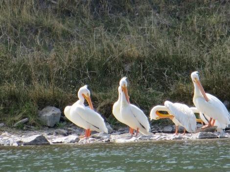 My faithful companions the pelicans.