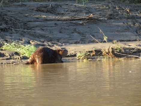 Plenty of beavers in the refuge. And, they are BIG! They pretty much own that refuge.