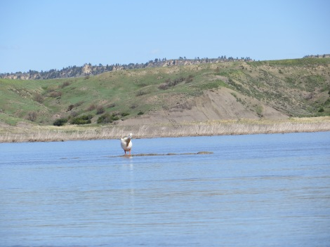 Pelican sitting on a sandbar that was just barely showing.