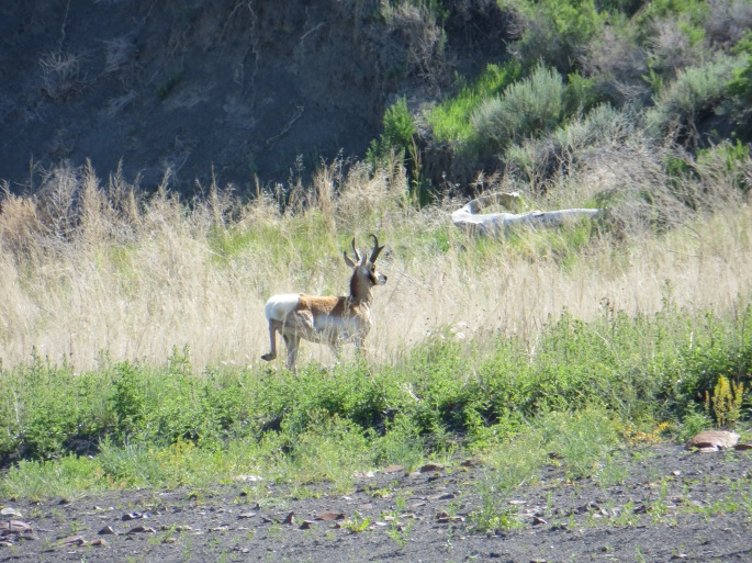 This is a gorgeous Pronghorn deer buck, also known as an antelope (but there is some controversy about that). He had a herd of six females with him.