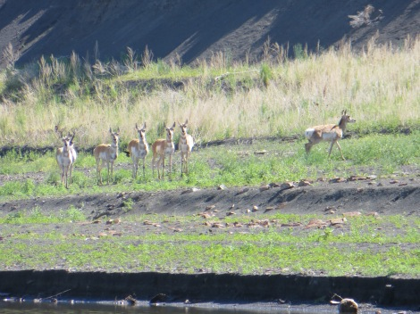 Here is the buck's females (I assume they were all females). The buck was very protective of them and they were very obedient to his signals to stay clear of me. I was so happy to get pictures of these beautiful animals.