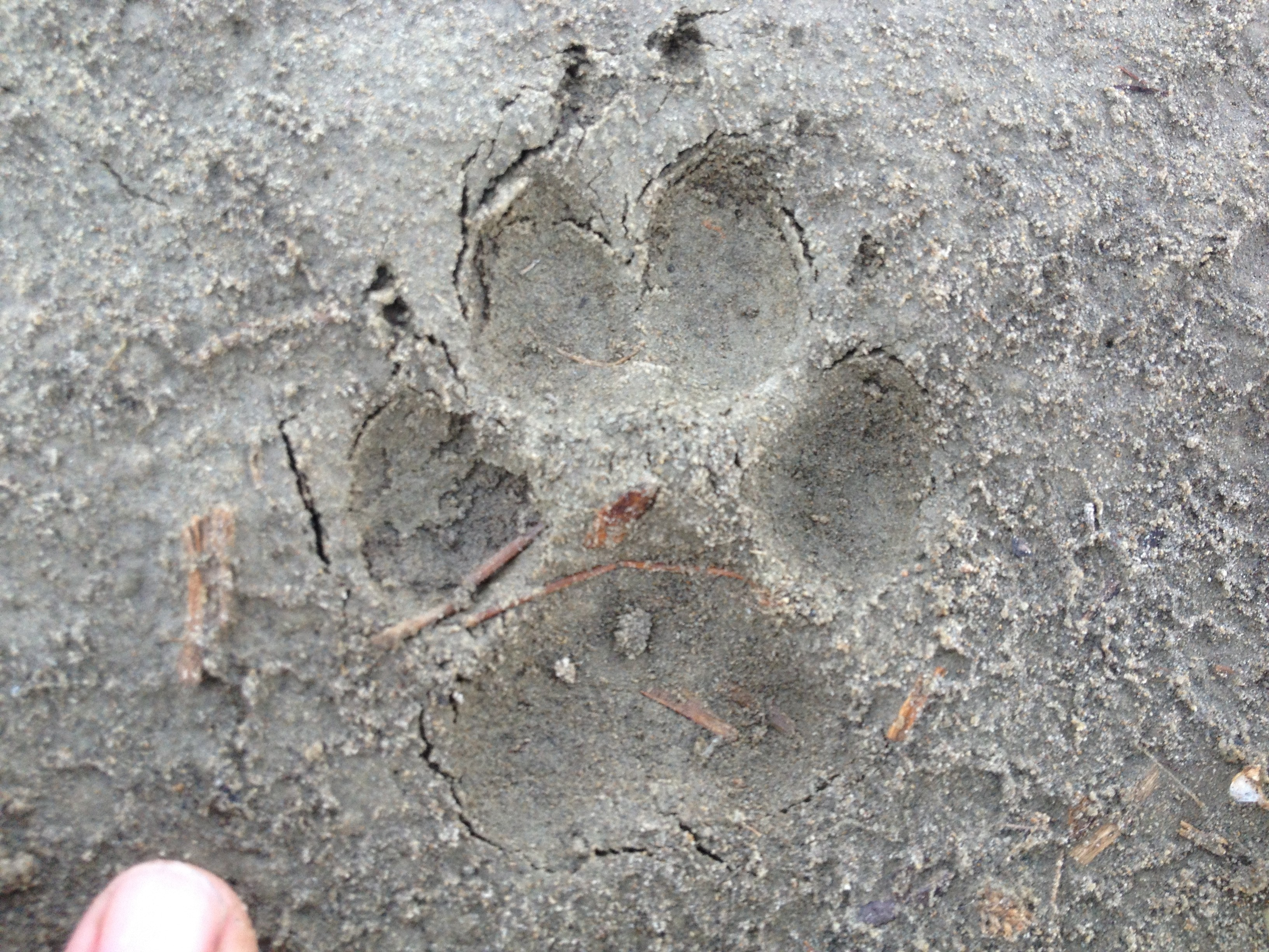 At first, all I could think about was if this was a mountain lion track. I knew it was too small, but my mind was trying to justify it as such. Then, I took out my survival guide and saw that the nail prints indicated something different. Probably just a coyote or a desert fox.