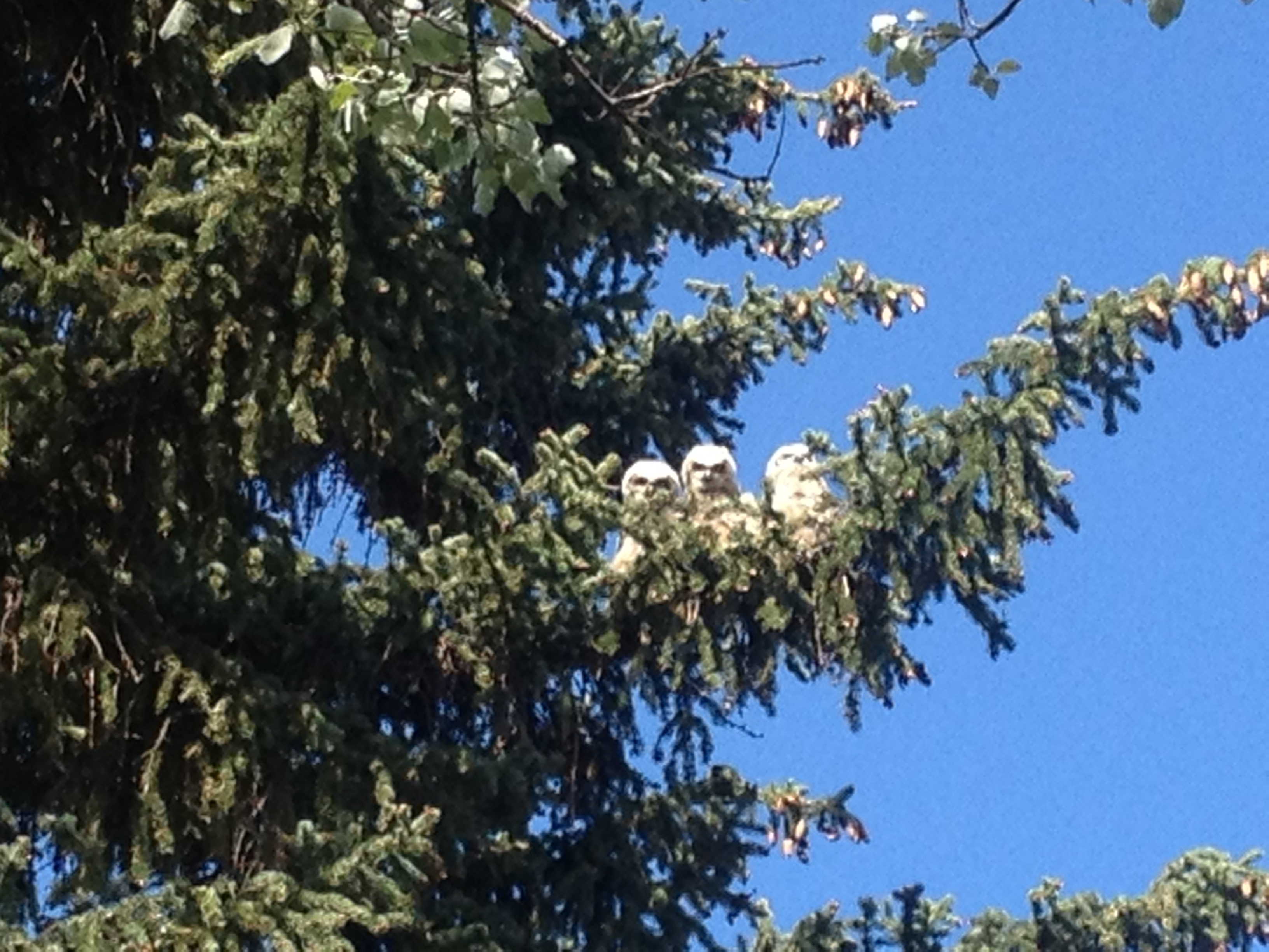 Great Horned Owl Babies in Great Falls, MT