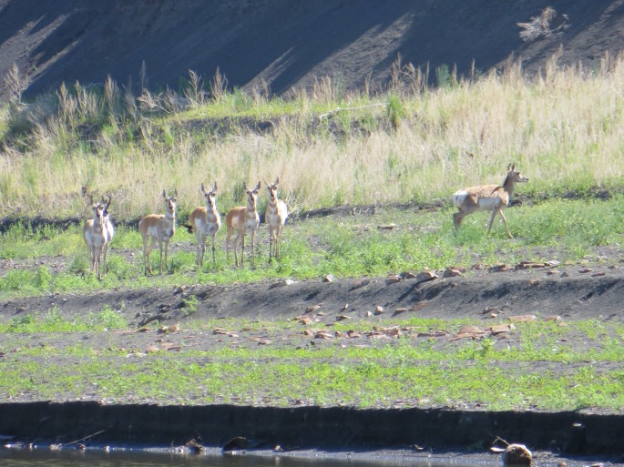 Curious Pronghorn Deer