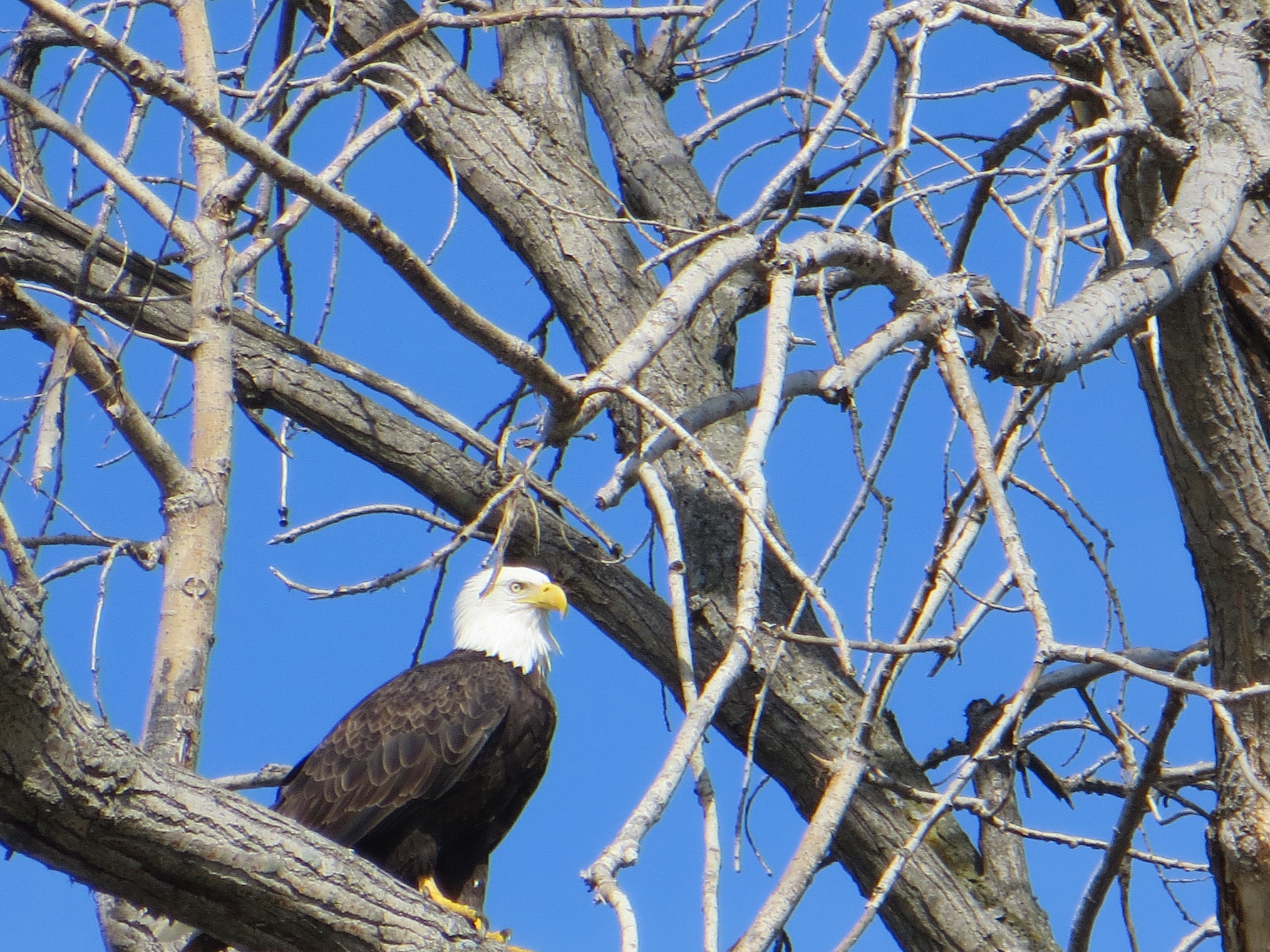 The stoic bald eagle