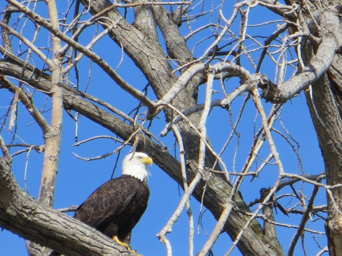 The stoic bald eagle